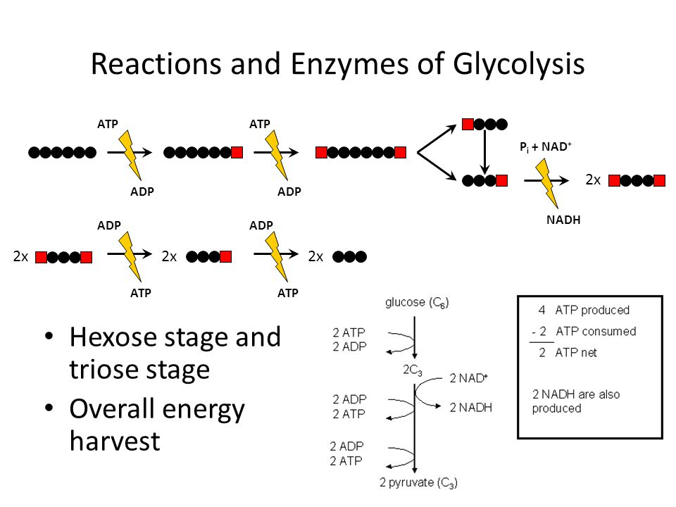 Reactions and Enzymes of Glycolysis