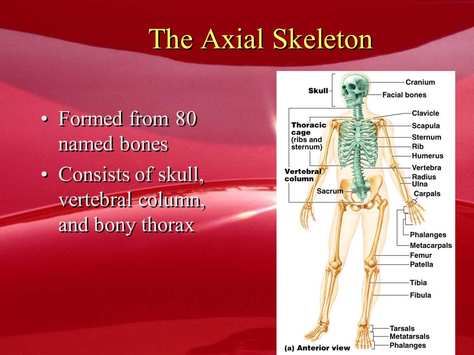 The Axial Skeleton Formed from 80 named bones