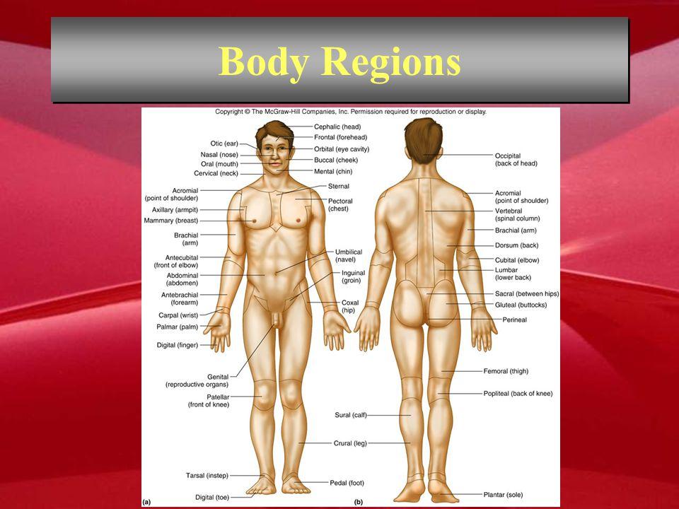 Body Regions