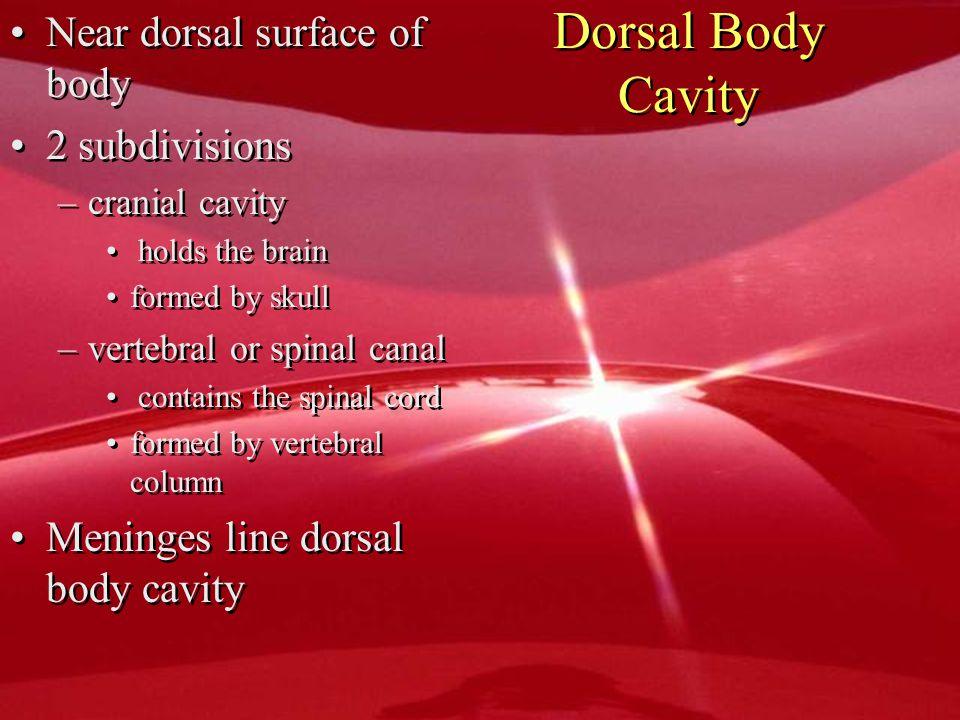 Dorsal Body Cavity Near dorsal surface of body 2 subdivisions