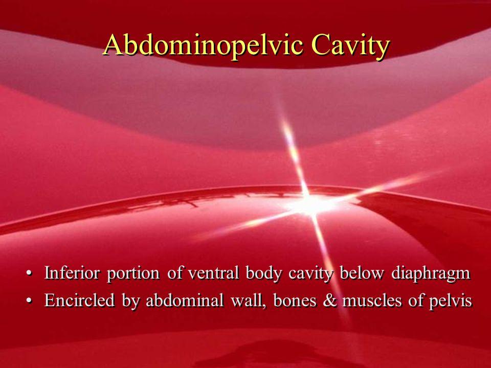 Abdominopelvic Cavity