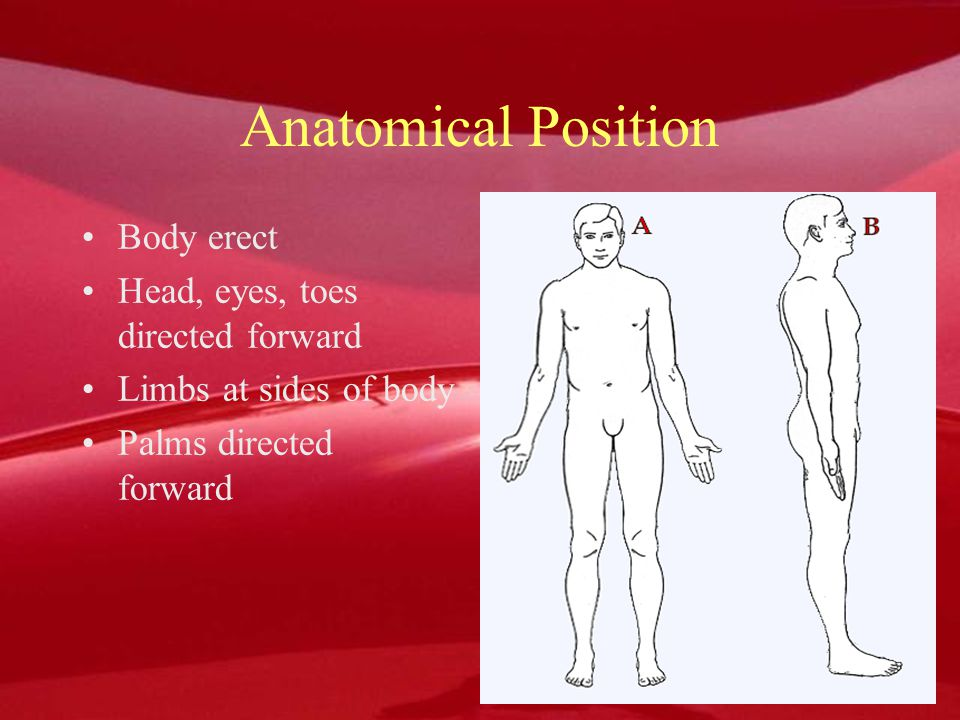 Anatomical Position Body erect Head, eyes, toes directed forward