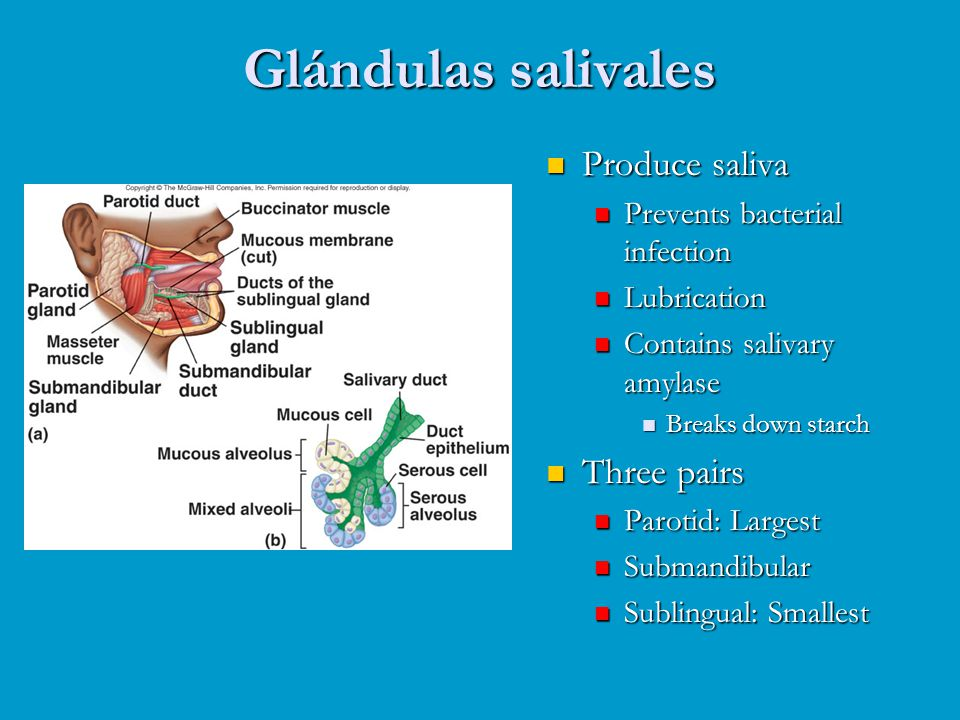 Glándulas salivales Produce saliva Three pairs