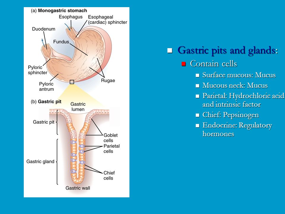 Gastric pits and glands: