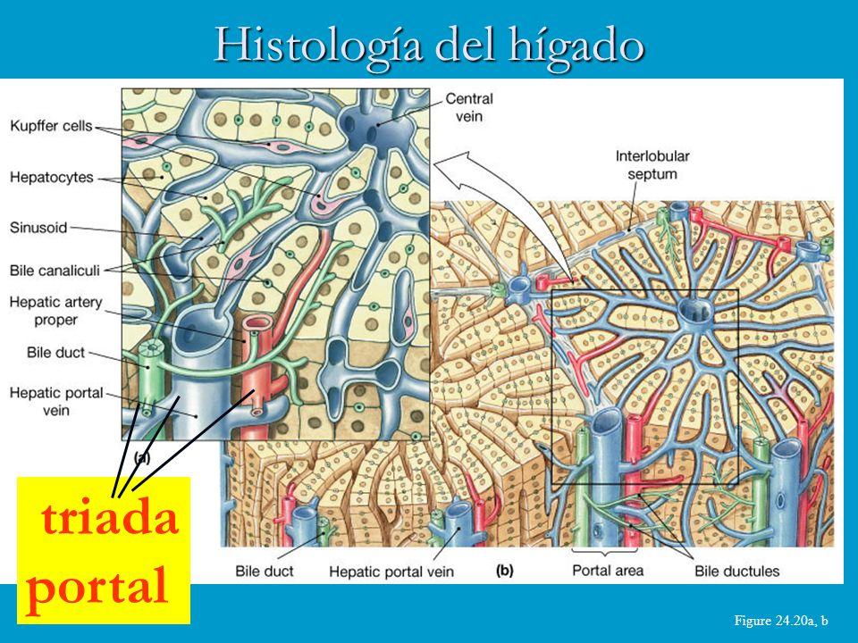 Histología del hígado triada portal Figure 24.20a, b