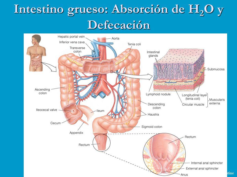 Intestino grueso: Absorción de H2O y Defecación