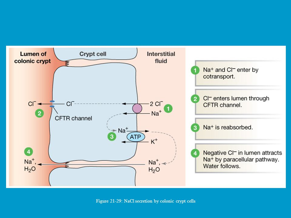 Figure 21-29: NaCl secretion by colonic crypt cells
