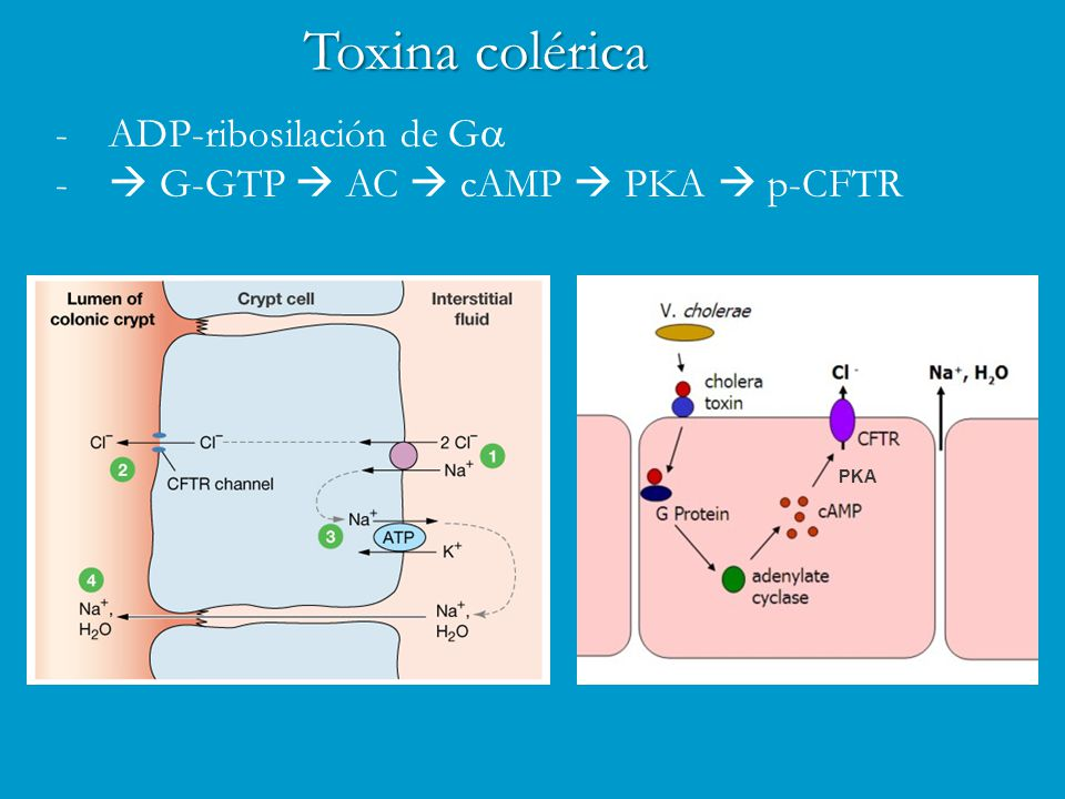 Toxina colérica ADP-ribosilación de Ga