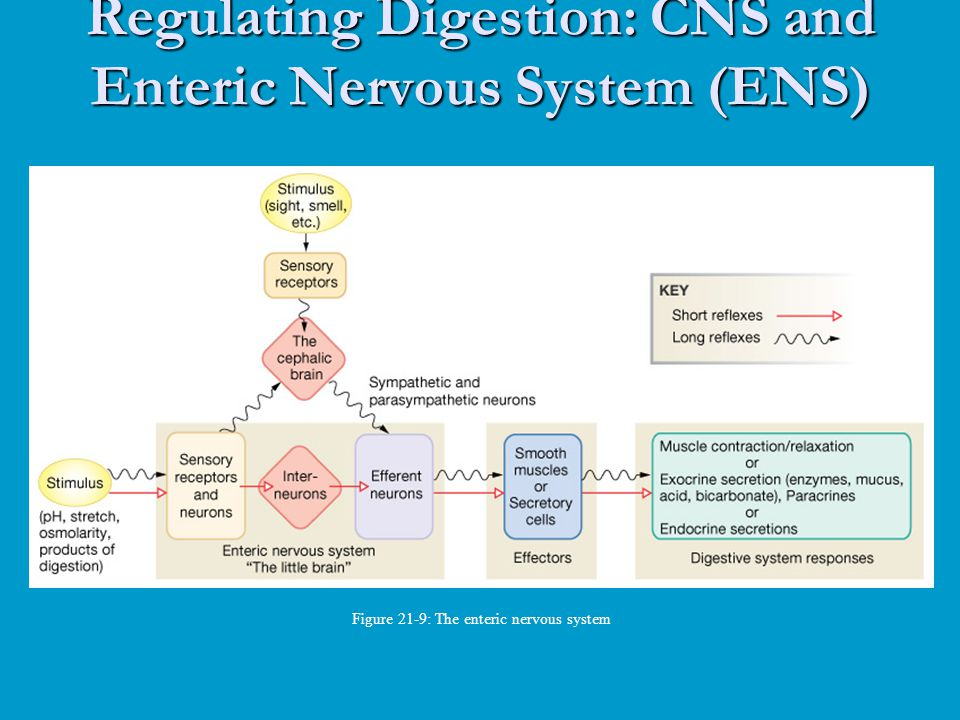 Regulating Digestion: CNS and Enteric Nervous System (ENS)