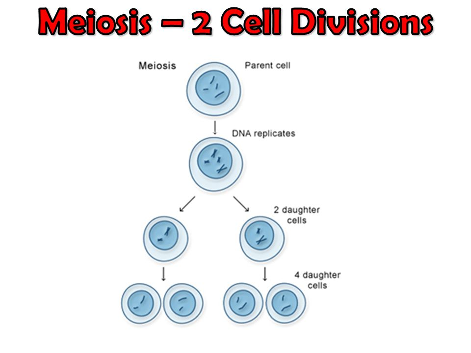 Meiosis – 2 Cell Divisions