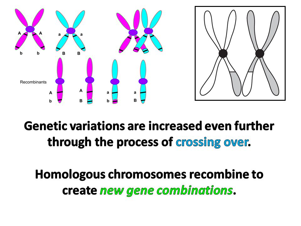 Homologous chromosomes recombine to create new gene combinations.