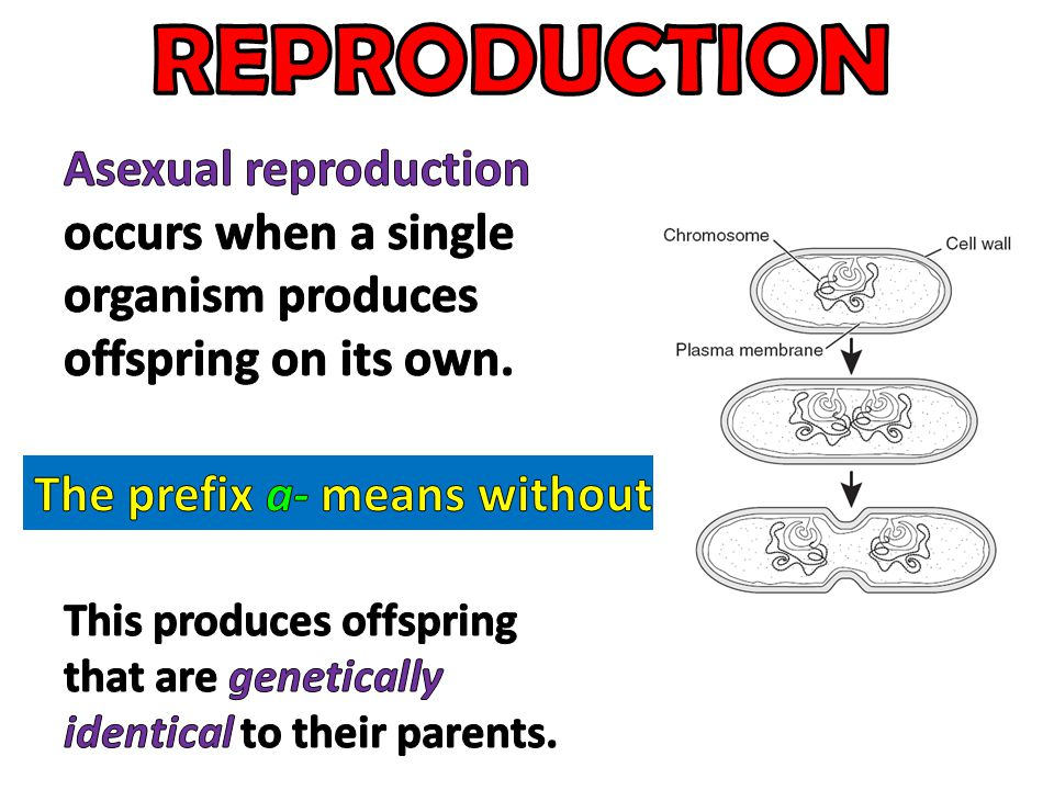 REPRODUCTION Asexual reproduction occurs when a single organism produces offspring on its own. The prefix a- means without.