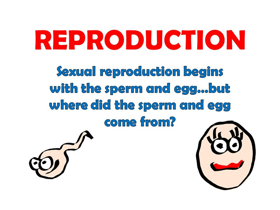 REPRODUCTION Sexual reproduction begins with the sperm and egg…but where did the sperm and egg come from