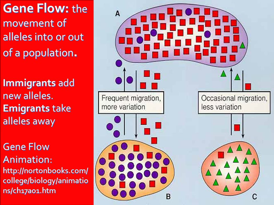 Gene Flow: the movement of alleles into or out of a population
