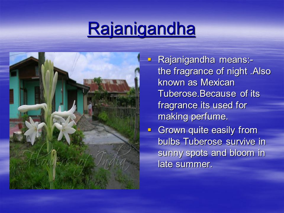 Rajanigandha Rajanigandha means:- the fragrance of night .Also known as Mexican Tuberose.Because of its fragrance its used for making perfume.