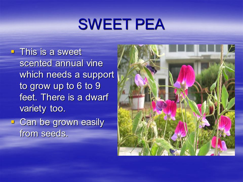 SWEET PEA This is a sweet scented annual vine which needs a support to grow up to 6 to 9 feet. There is a dwarf variety too.