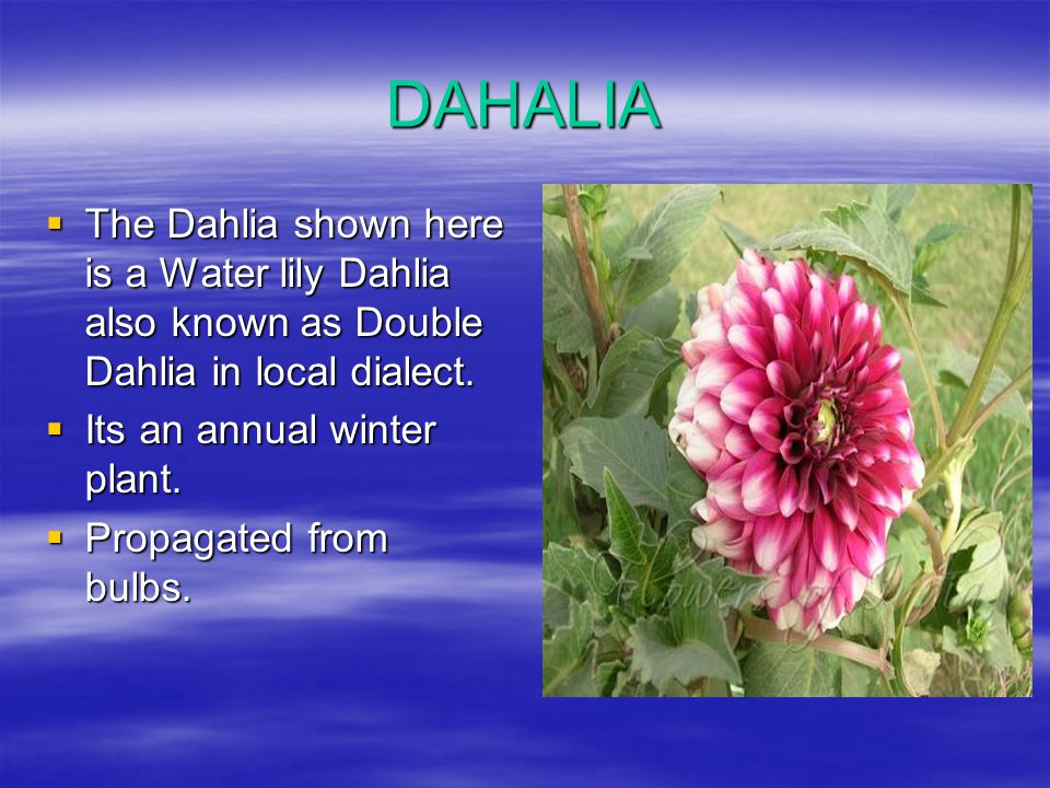 DAHALIA The Dahlia shown here is a Water lily Dahlia also known as Double Dahlia in local dialect. Its an annual winter plant.