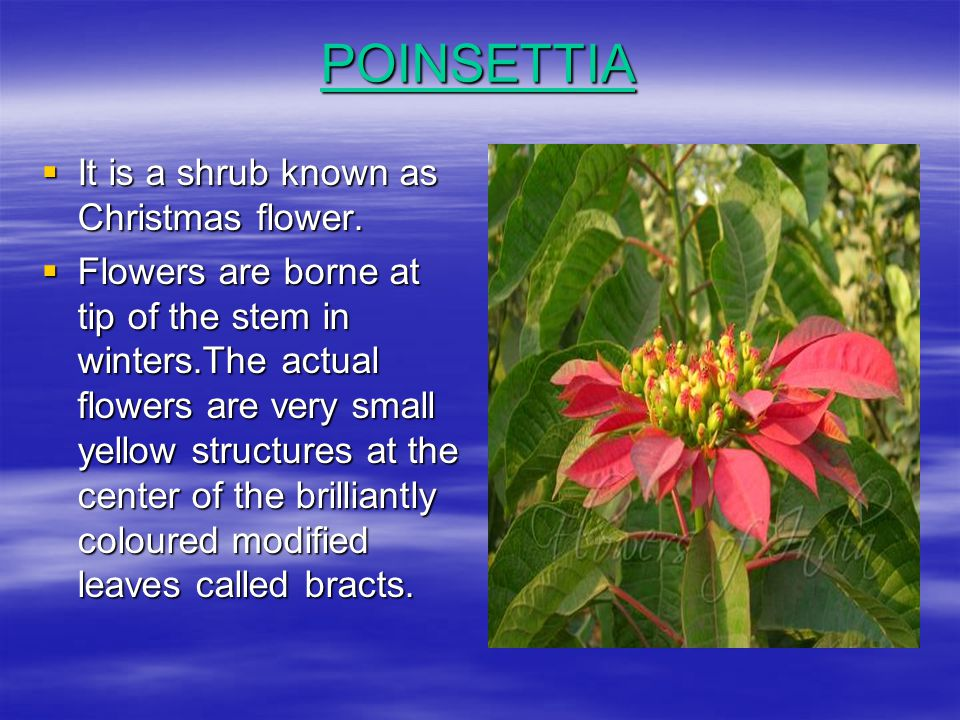 POINSETTIA It is a shrub known as Christmas flower.