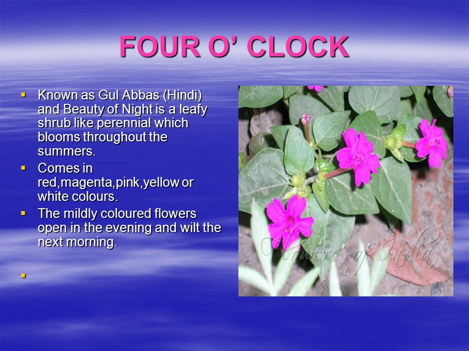 FOUR O' CLOCK Known as Gul Abbas (Hindi) and Beauty of Night is a leafy shrub like perennial which blooms throughout the summers.