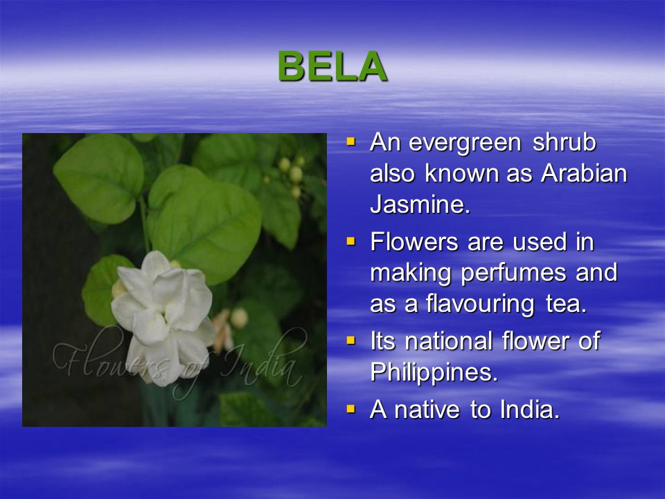 BELA An evergreen shrub also known as Arabian Jasmine.