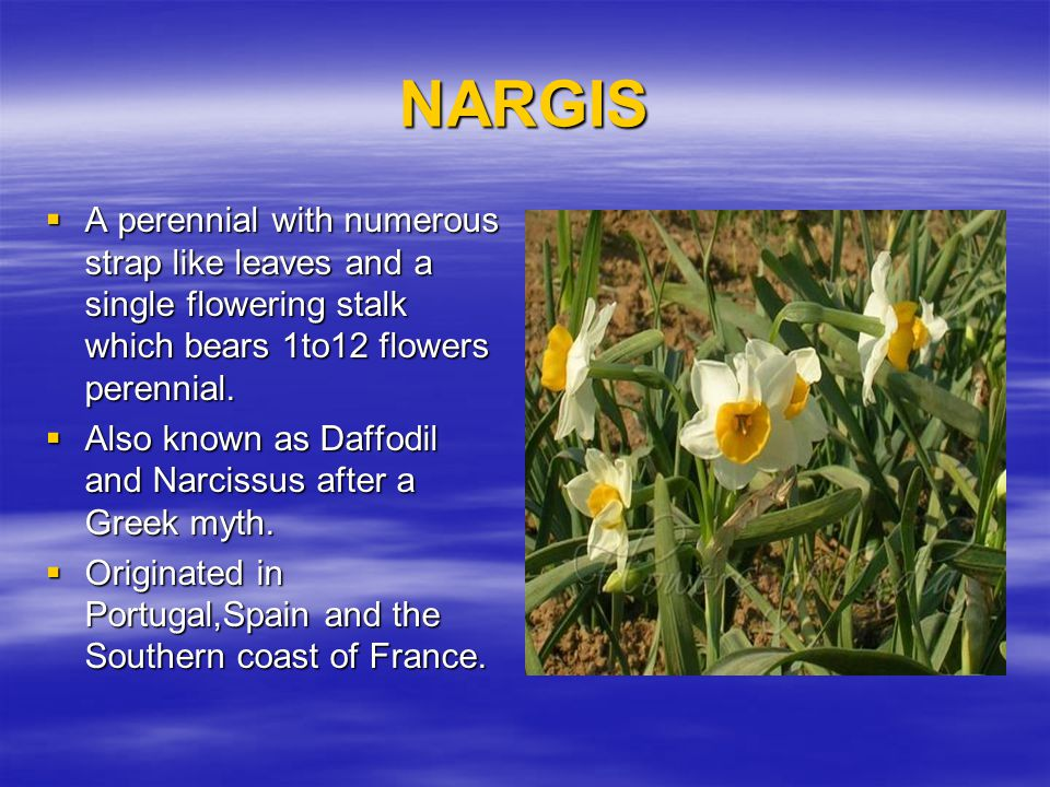 NARGIS A perennial with numerous strap like leaves and a single flowering stalk which bears 1to12 flowers perennial.