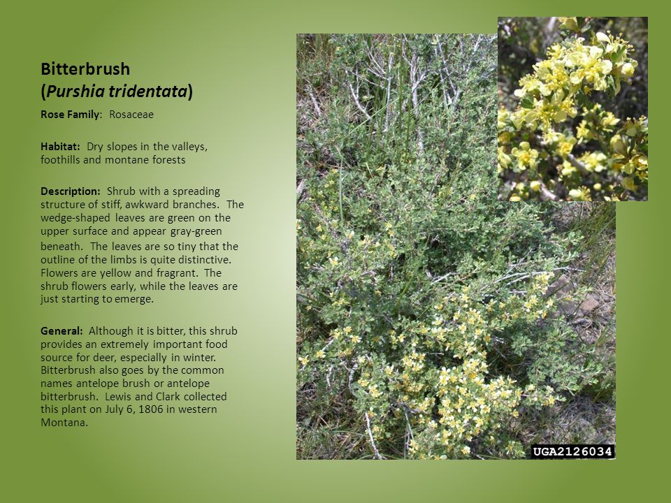 Bitterbrush (Purshia tridentata)