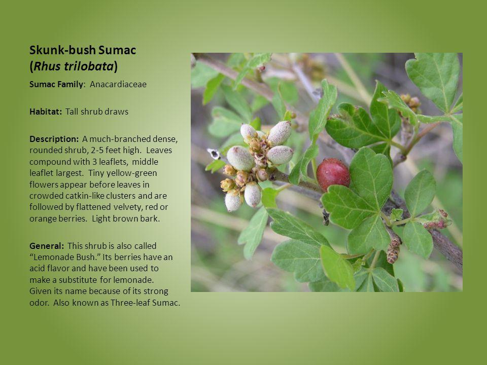 Skunk-bush Sumac (Rhus trilobata)