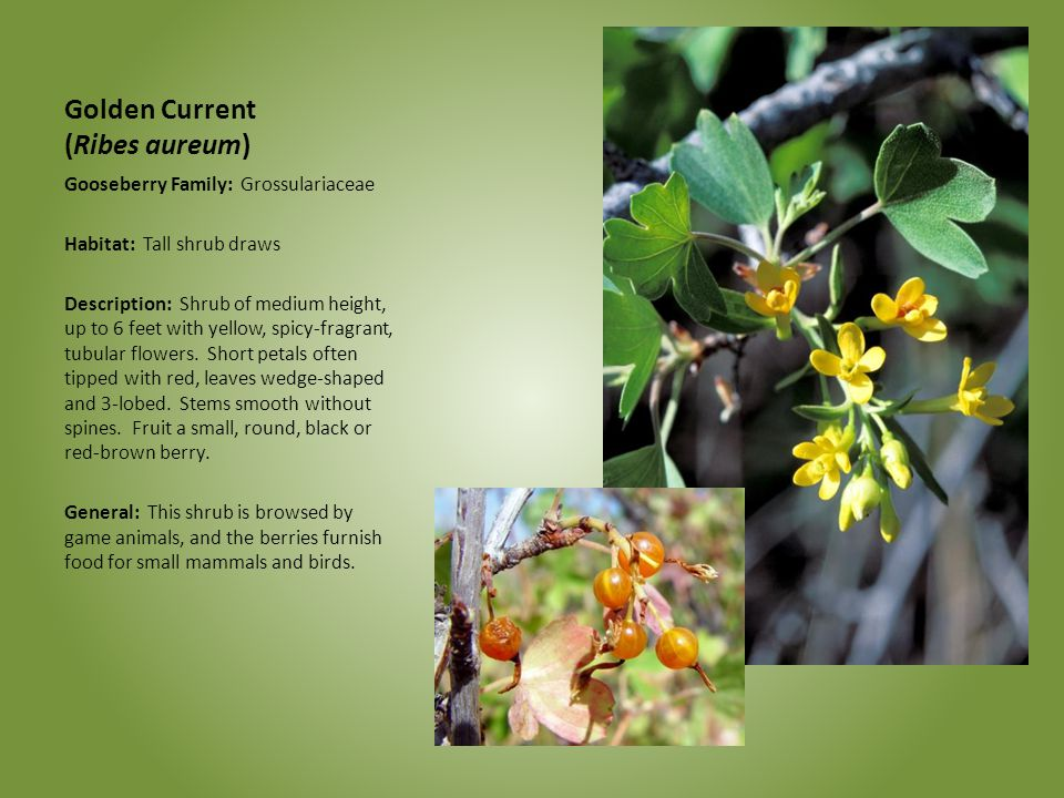 Golden Current (Ribes aureum)