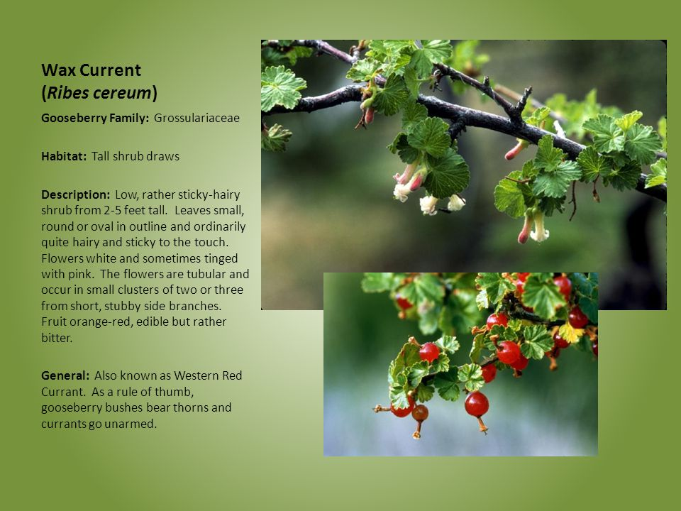 Wax Current (Ribes cereum)