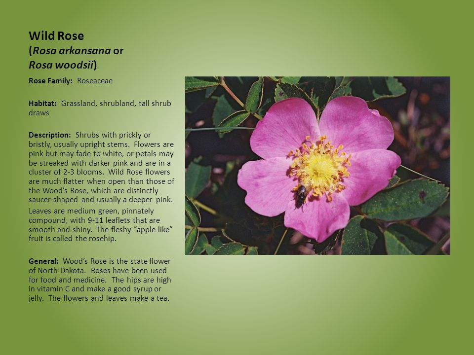 Wild Rose (Rosa arkansana or Rosa woodsii)