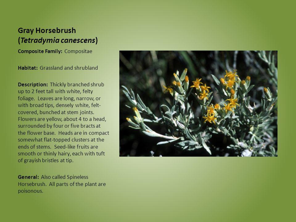 Gray Horsebrush (Tetradymia canescens)