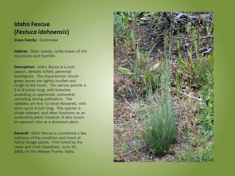 Idaho Fescue (Festuca idahoensis)