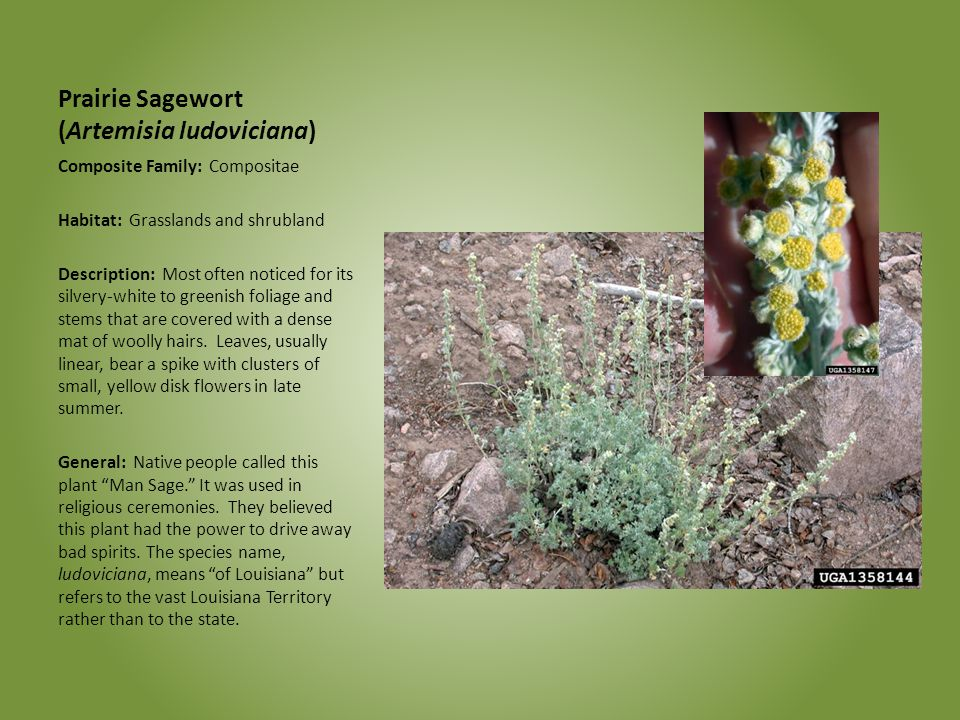Prairie Sagewort (Artemisia ludoviciana)