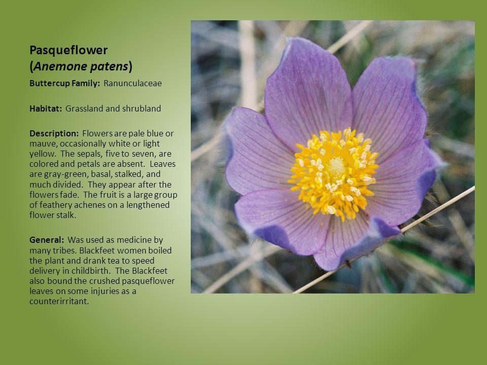 Pasqueflower (Anemone patens)