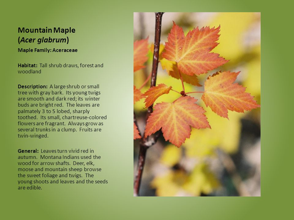 Mountain Maple (Acer glabrum)