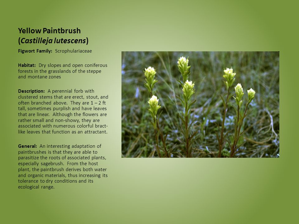 Yellow Paintbrush (Castilleja lutescens)