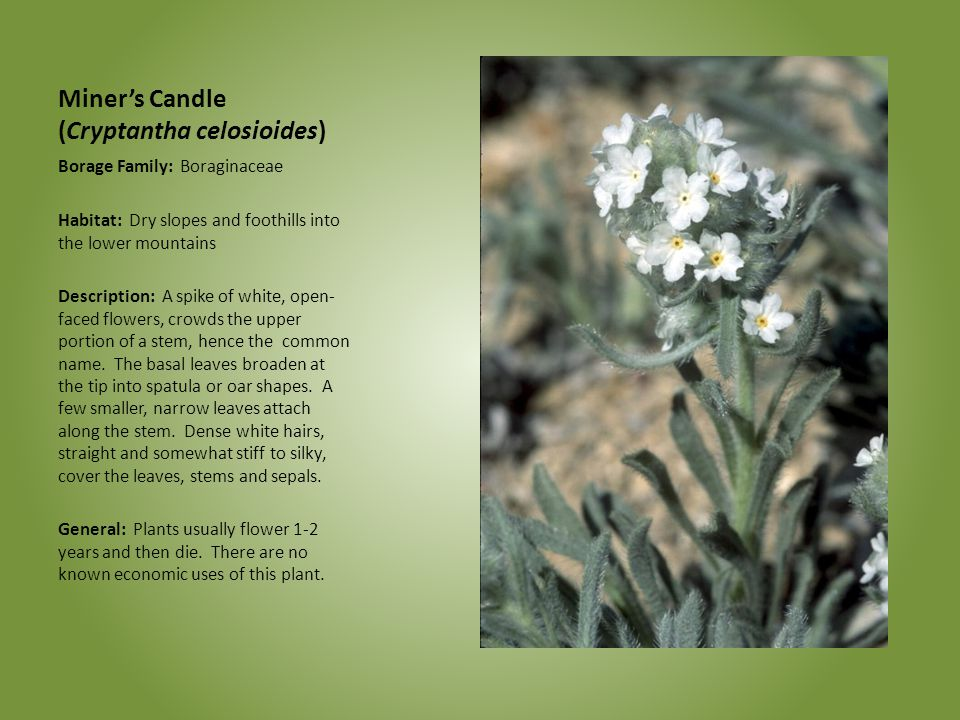 Miner's Candle (Cryptantha celosioides)