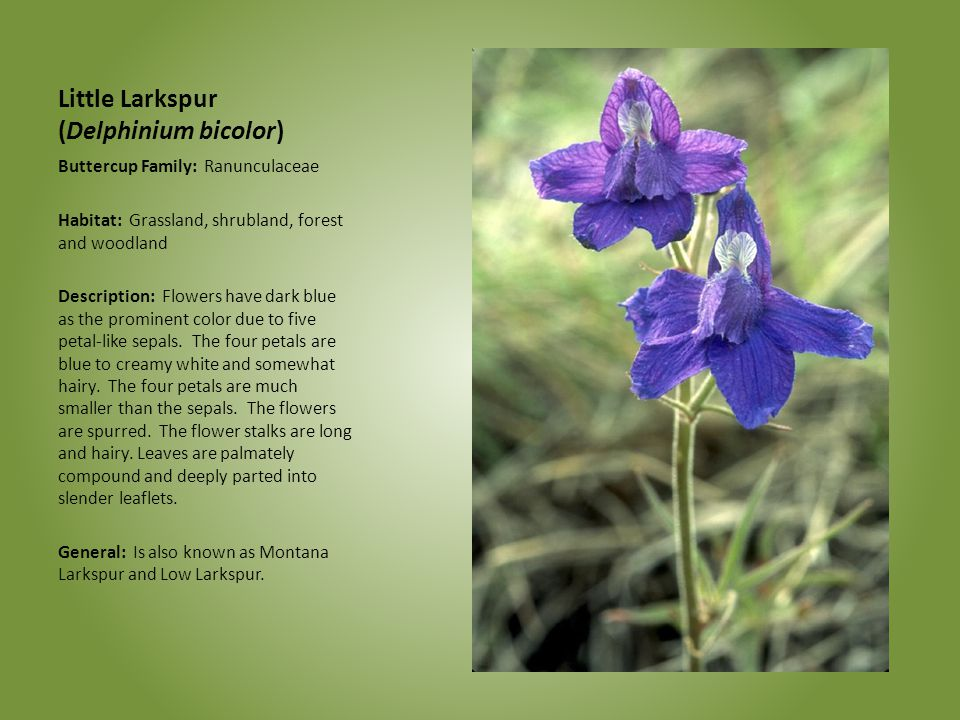 Little Larkspur (Delphinium bicolor)