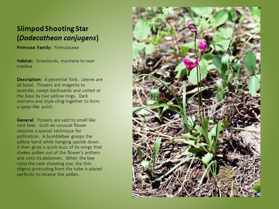 Slimpod Shooting Star (Dodecatheon conjugens)