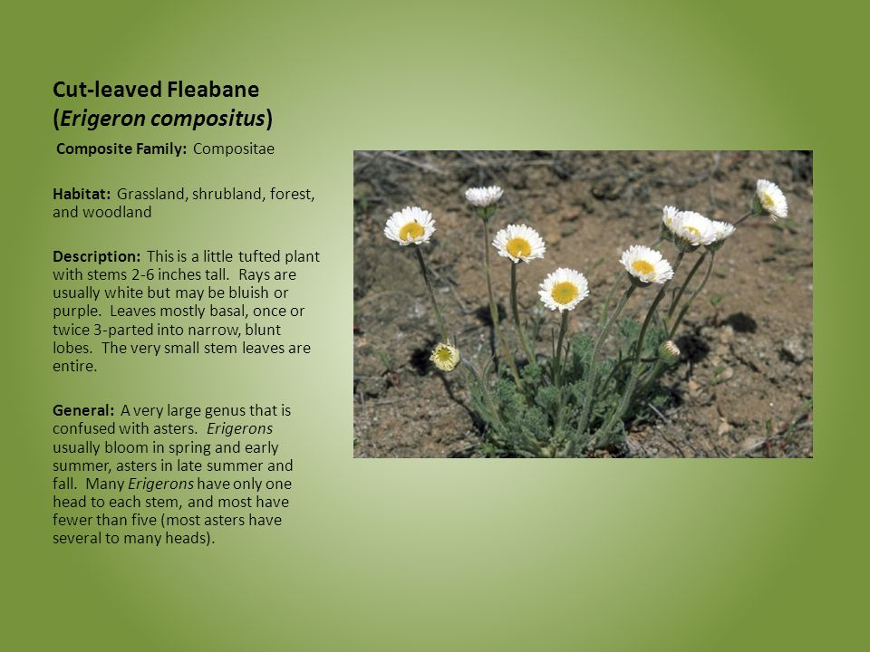 Cut-leaved Fleabane (Erigeron compositus)