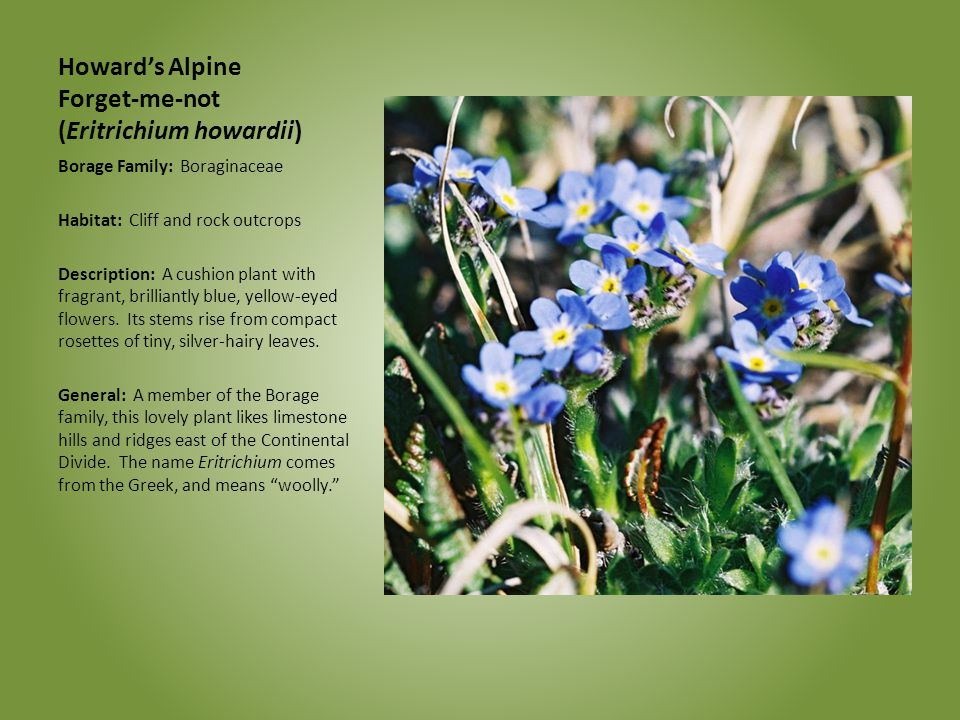Howard's Alpine Forget-me-not (Eritrichium howardii)