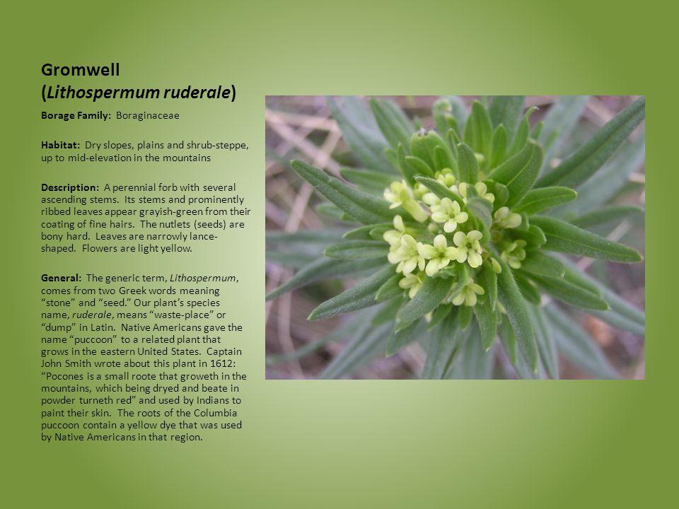 Gromwell (Lithospermum ruderale)