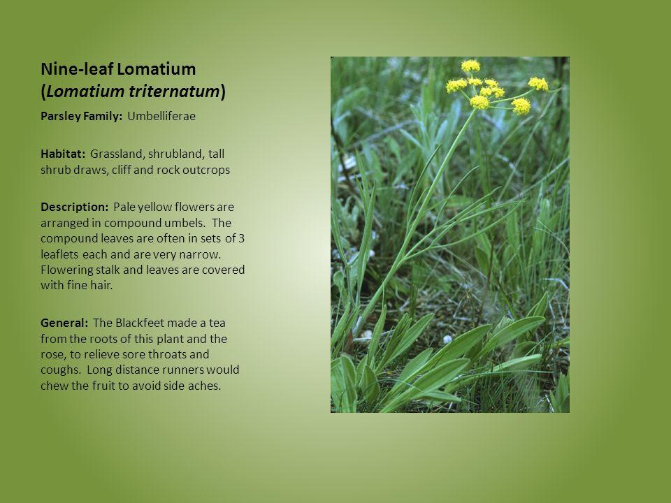 Nine-leaf Lomatium (Lomatium triternatum)