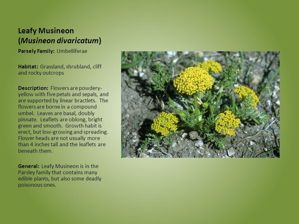 Leafy Musineon (Musineon divaricatum)