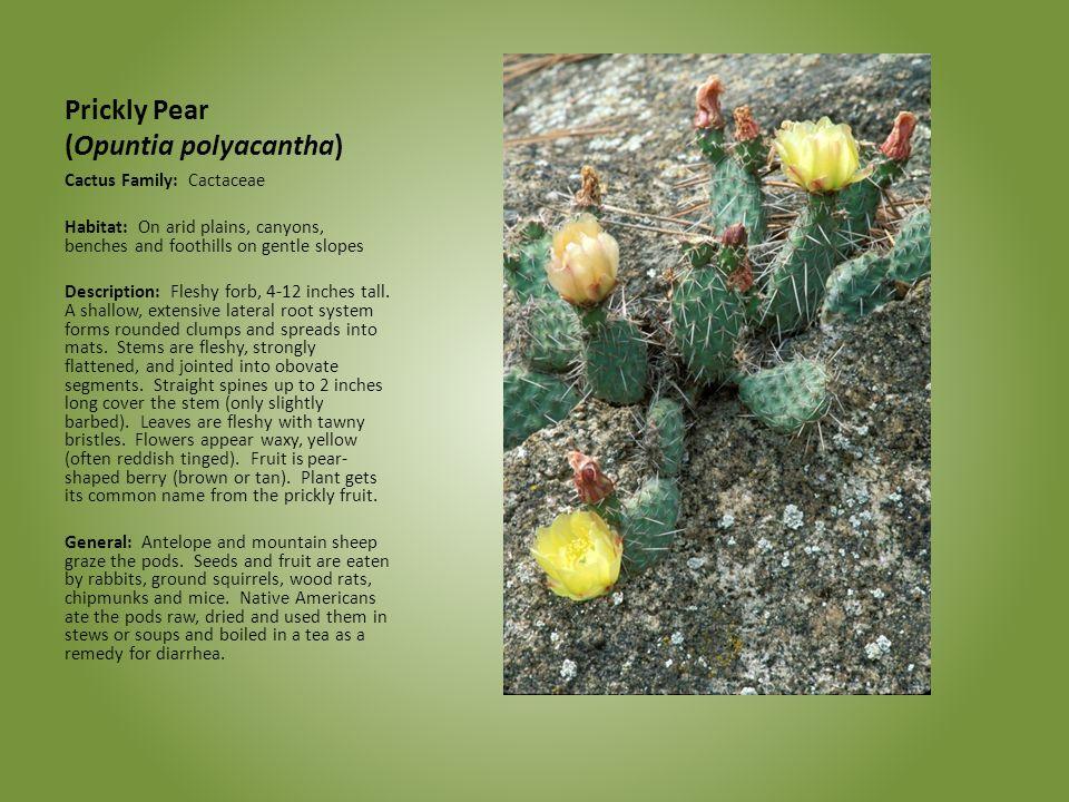 Prickly Pear (Opuntia polyacantha)