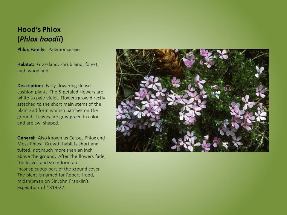 Hood's Phlox (Phlox hoodii)