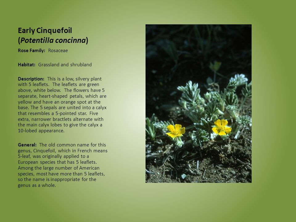 Early Cinquefoil (Potentilla concinna)