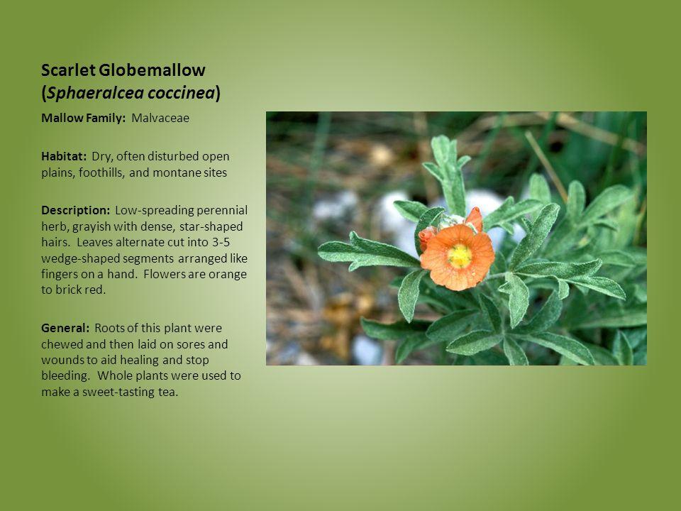 Scarlet Globemallow (Sphaeralcea coccinea)