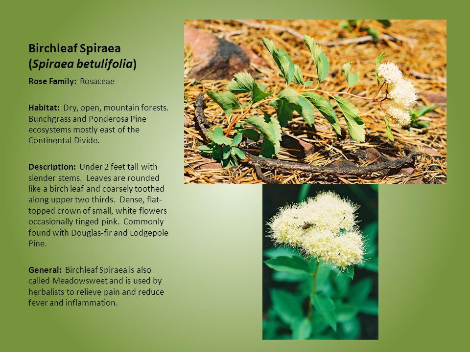 Birchleaf Spiraea (Spiraea betulifolia)