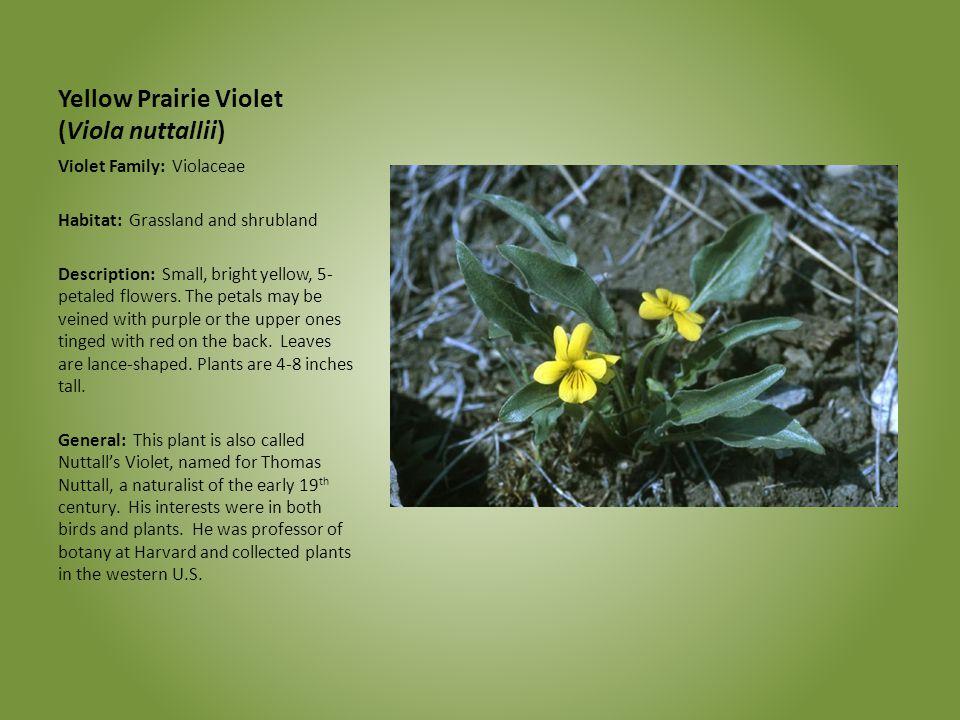 Yellow Prairie Violet (Viola nuttallii)